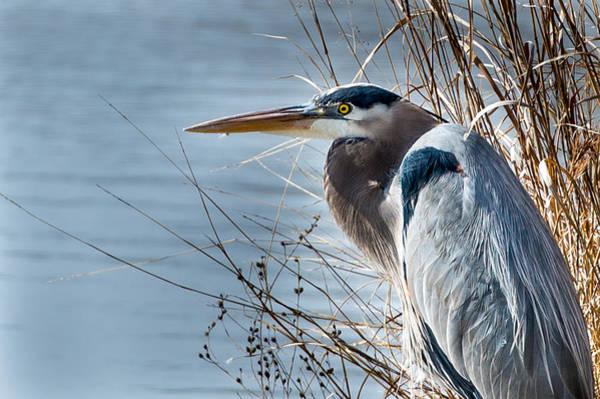 Blue Heron At Pond Art Print