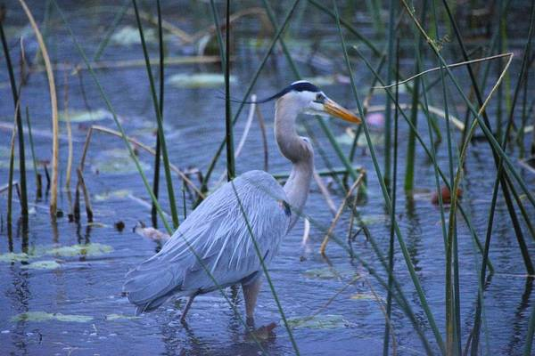 Photograph - Blue Heron by Bill Hosford