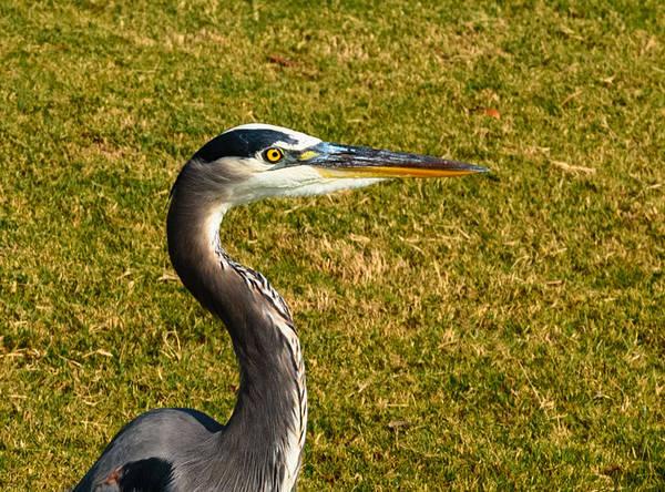 Photograph - Great Blue Heron by John Johnson