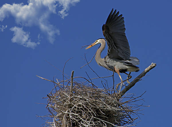 Photograph - Blue Heron Construction Site by Torrey McNeal