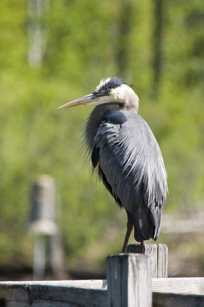 Photograph - Blue Heron by David Armstrong