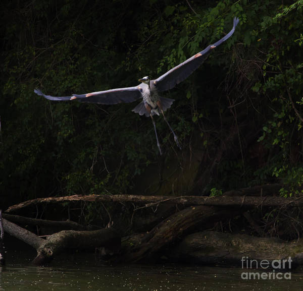 Coosa River Photograph - Blue Heron In Flight  #0059 by J L Woody Wooden