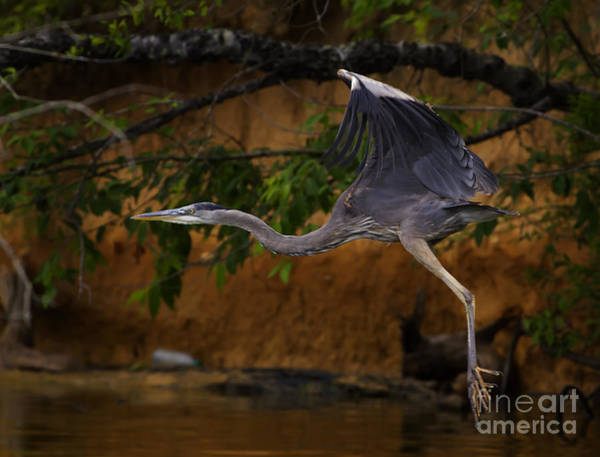 Coosa River Photograph - Blue Heron In Flight  #0408 by J L Woody Wooden