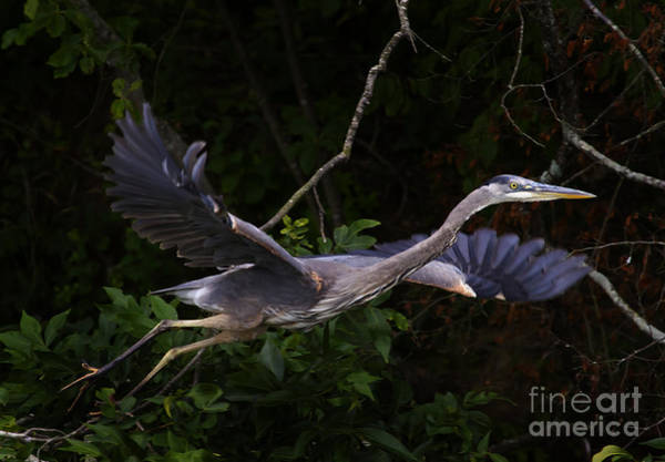 Coosa River Photograph - Blue Heron In Flight  #0457 by J L Woody Wooden