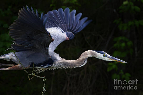 Coosa River Photograph - Blue Heron In Flight  #0957 by J L Woody Wooden