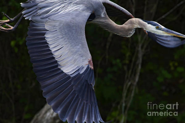 Coosa River Photograph - Blue Heron In Flight  #0960 by J L Woody Wooden