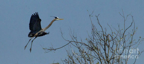 Coosa River Photograph - Blue Heron In Flight by J L Woody Wooden