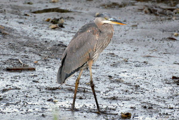 Photograph - Blue Heron In The Marsh by Dan Williams