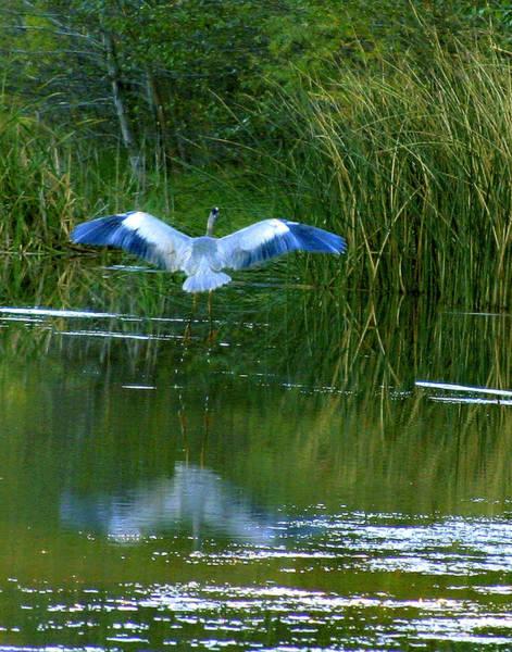 Photograph - Blue Heron by Matalyn Gardner