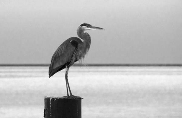 Blue Heron On Post Art Print