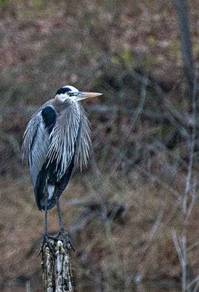 Wall Art - Photograph - Blue Heron On Stump by Bill Perry