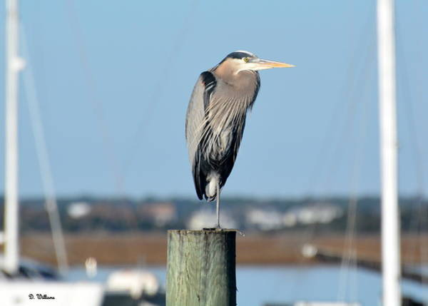 Photograph - Blue Heron On Watch by Dan Williams