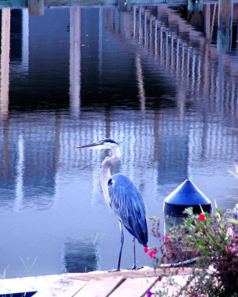 Photograph - Blue Heron Reflections by Kim Bemis
