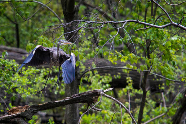 Photograph - Blue Heron Take Off by Eleanor Abramson