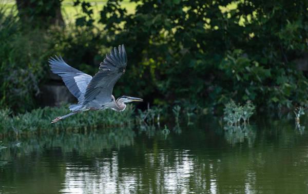 Blue Heron Take-off Art Print