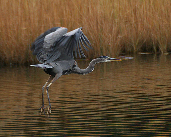 Photograph - Blue Heron Takes Flight by William Selander