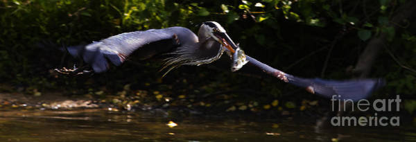 Coosa River Photograph - Blue Heron With A Fish  #9511 by J L Woody Wooden