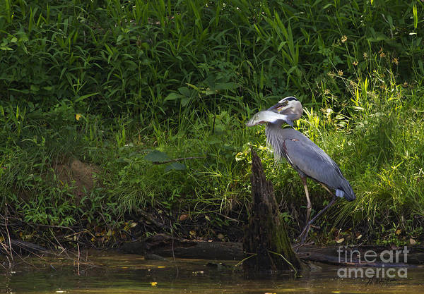 Coosa River Photograph - Blue Heron With A Fish-signed by J L Woody Wooden
