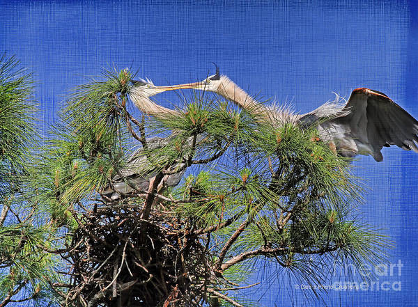 Photograph - Blue Herons Kissing by Deborah Benoit