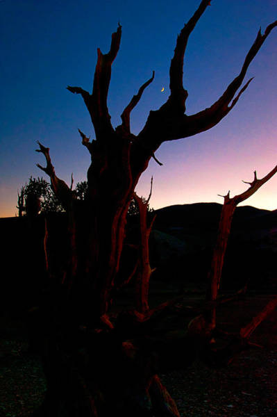 Photograph - Blue Hour Bristlecone by Cat Connor