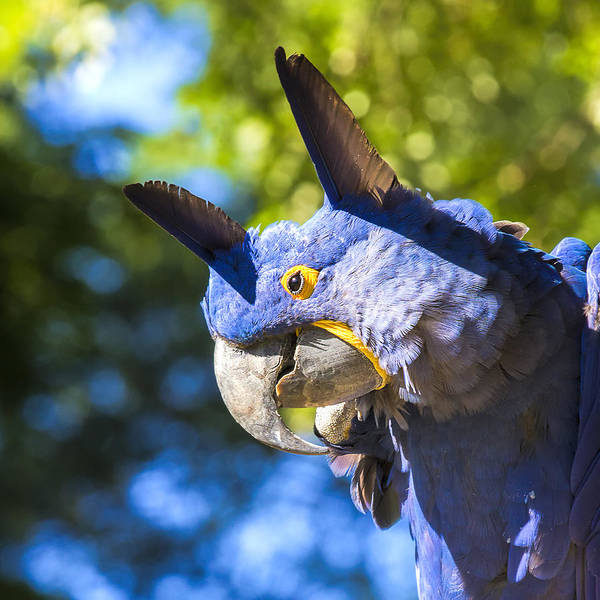 Hyacinth Macaw Photograph - Blue Hyacinth Pose by Bill Tiepelman
