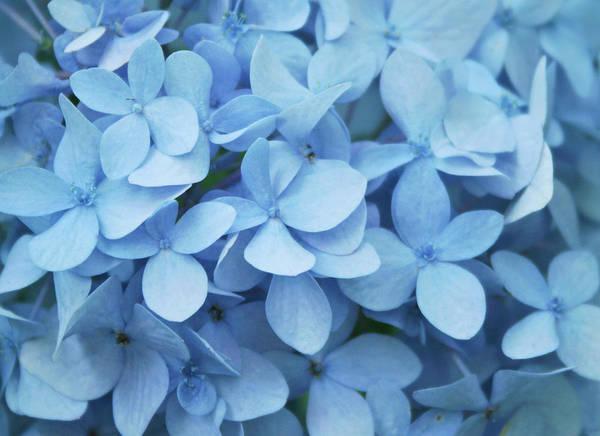 South Carolina Photograph - Blue Hydrangea Close-up by Daniela Duncan