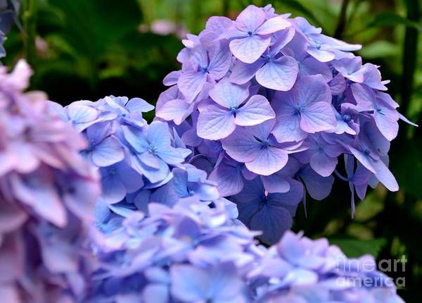 Photograph - Blue Hydrangea by Scott Lyons