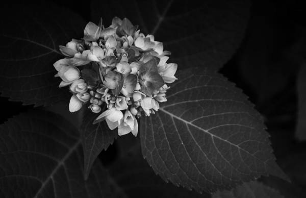 Photograph - Blue Hydrangea Slow Eruption by Ben Shields