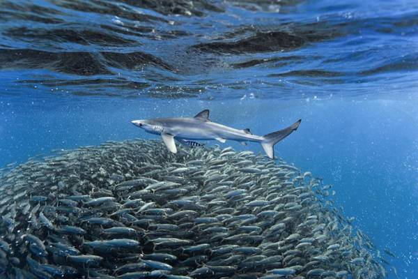 Bait Ball Photograph - Blue Jack Mackerel And Shark by Science Photo Library