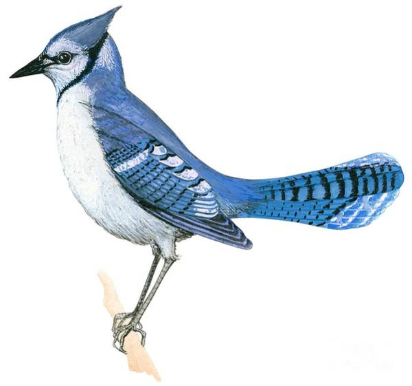 Full Length Drawing - Blue Jay  by Anonymous