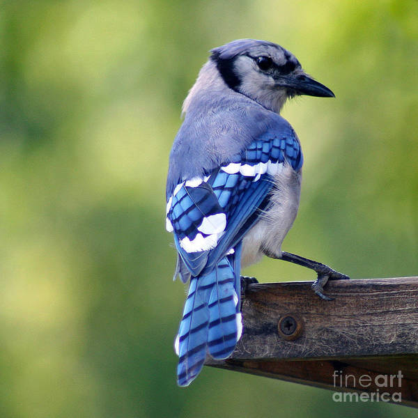 Photograph - Blue Jay At Feeder by Karen Adams