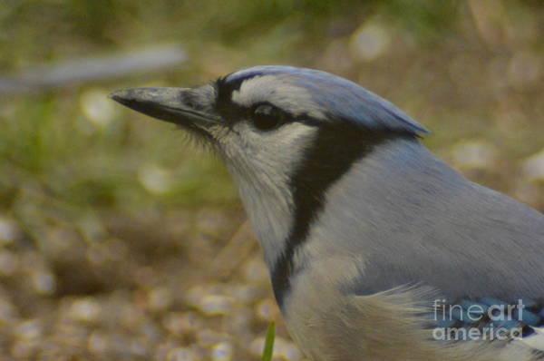 Photograph - Blue Jay Close Up by Randy J Heath