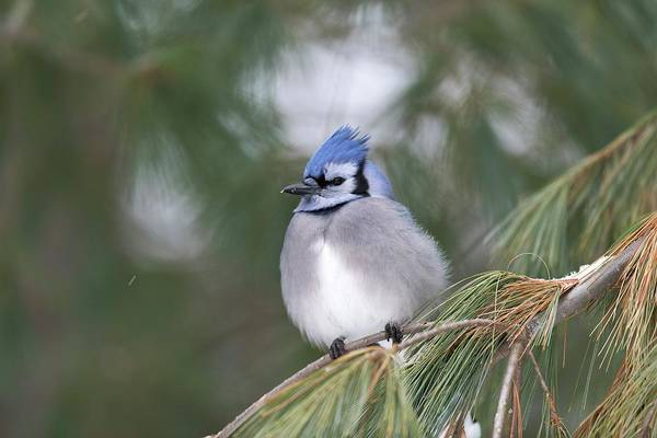 Canadian Fauna Photograph - Blue Jay by Dr P. Marazzi/science Photo Library