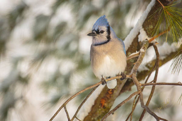 Blue Jay Photograph - Blue Jay by Everet Regal