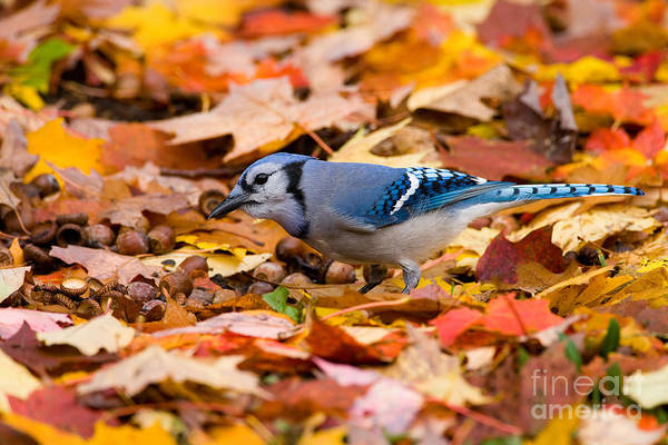 Photograph - Blue Jay Foraging by Marie Read