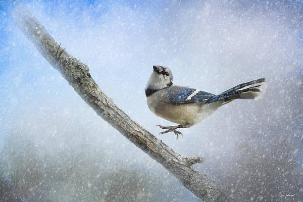 Photograph - Blue Jay In The Snow by Jai Johnson