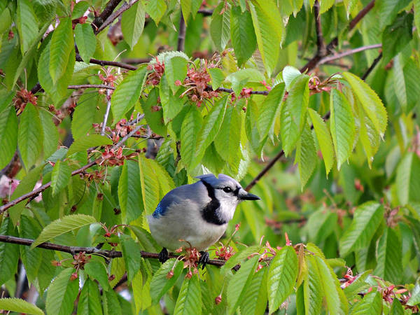 Photograph - Blue Jay  by Kimberly Perry