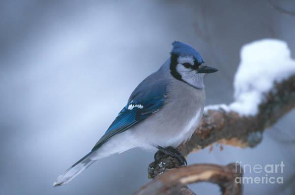 Photograph - Blue Jay by Rod Planck