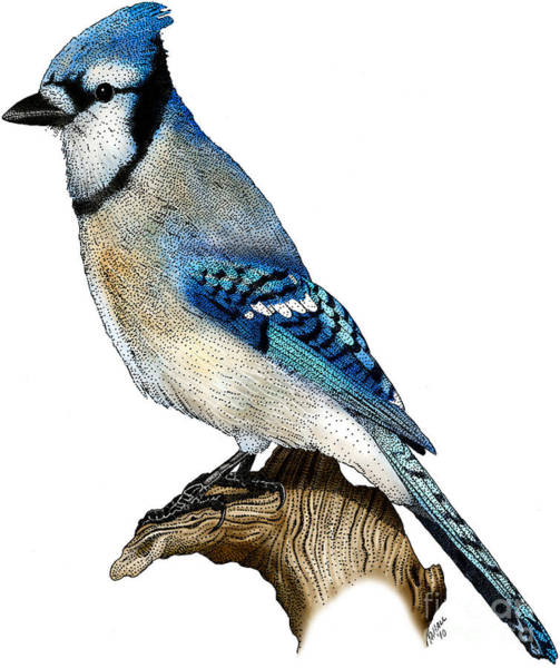 Photograph - Blue Jay by Roger Hall