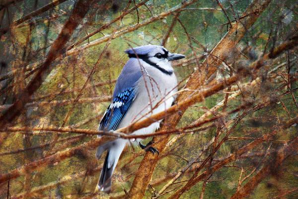 Photograph - Blue Jay by Trina  Ansel