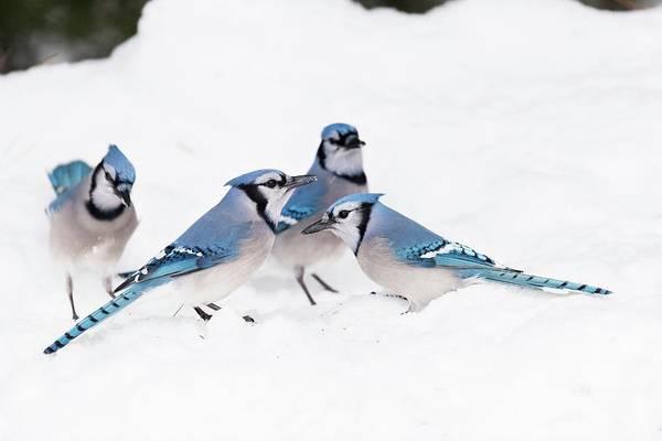 Corvidae Photograph - Blue Jays by Dr P. Marazzi/science Photo Library