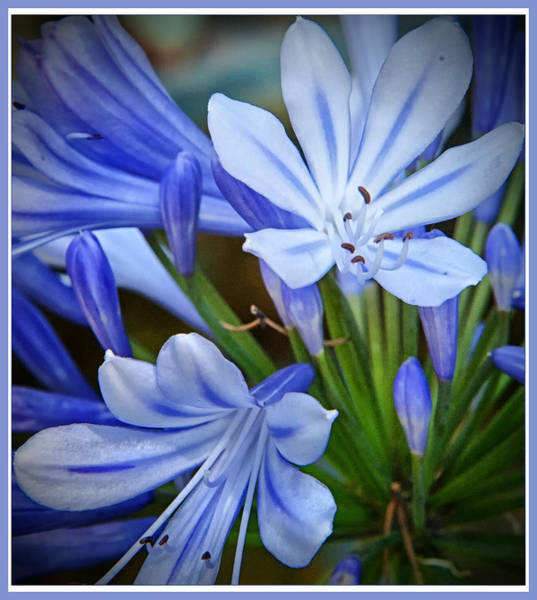 Photograph - Blue Lilie by Barry Weiss