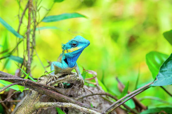 Quang Nam Province Photograph - Blue Lizard Calotes Bachae by Jason Langley