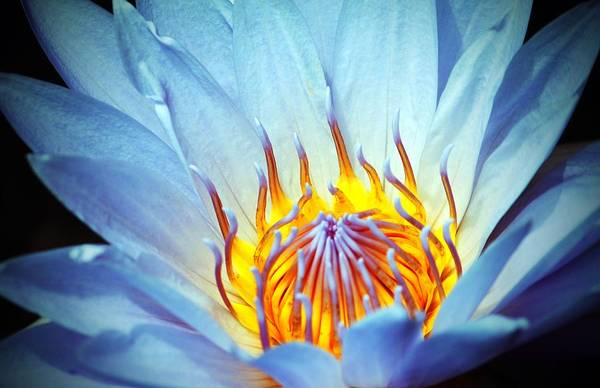 Photograph - Blue Lotus by Cynthia Guinn