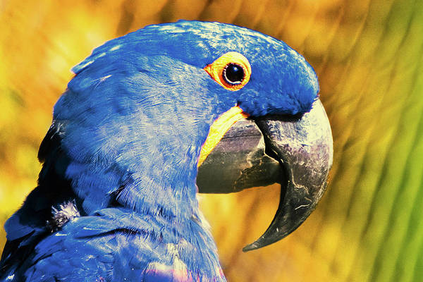 Macaws Photograph - Blue Macaw by Daniel B Begiato