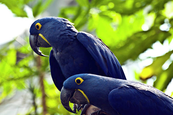 Macaw Photograph - Blue Macaws by Ray Sandusky / Brentwood, Tn