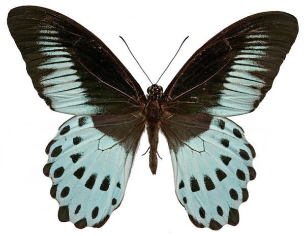 Wall Art - Photograph - Blue Mormon Butterfly by Natural History Museum, London/science Photo Library