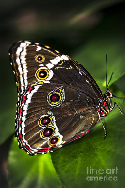 Photograph - Blue Morpho Butterfly  by Elena Elisseeva