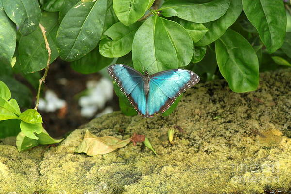 Wall Art - Photograph - Blue Morpho Butterfly On Plant by Eric Irion