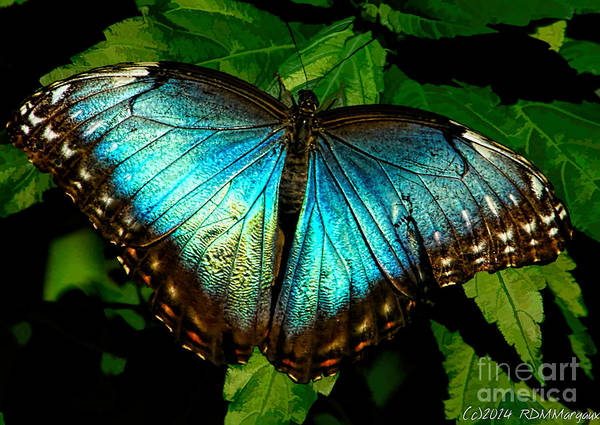 Flutterby Wall Art - Photograph - Blue Morpho Butterfly by Margaux Dreamaginations